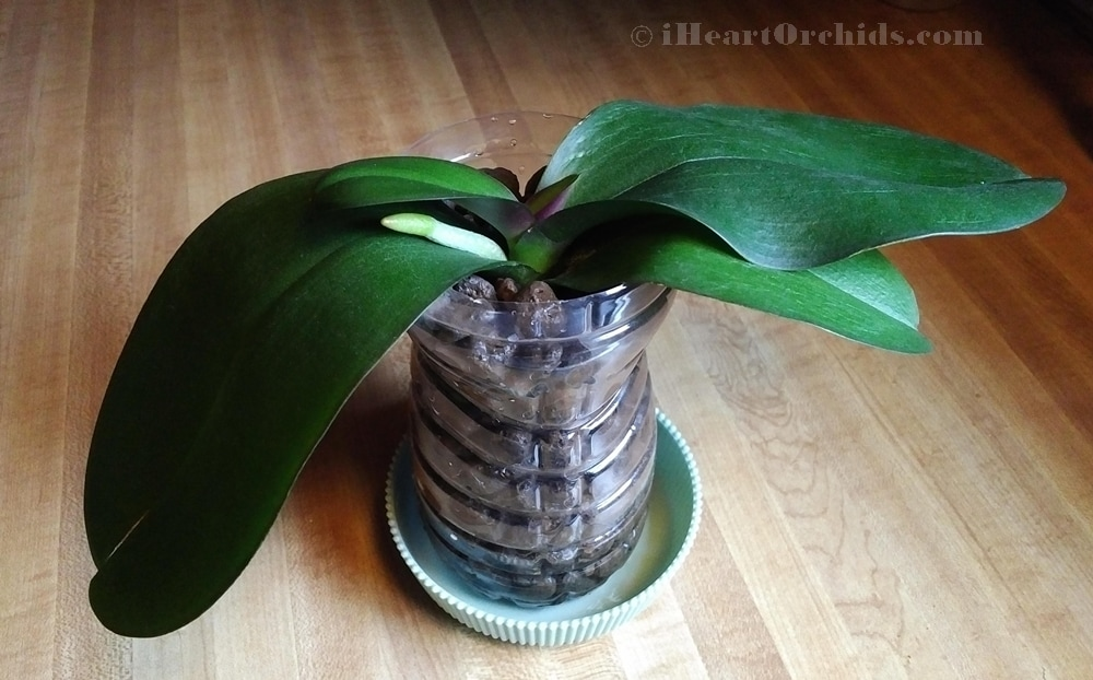 Orchid Leaves Finally Hydrated Due To New Root And Healthy Crown