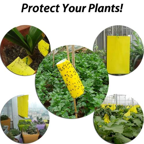 Yellow Sticky Traps Fungus Gnats Sold on Amazon